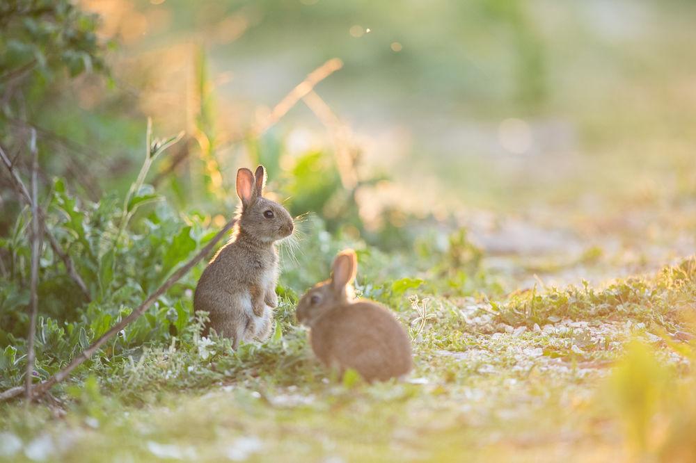 Lapins elevage de gibiers les chataigniers - Cuisiner un lapin de garenne ...